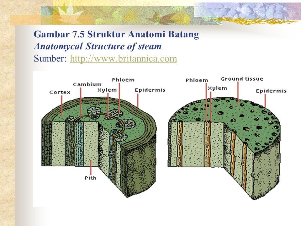 Gambar 7.5 Struktur Anatomi Batang Anatomycal Structure of steam Sumber: http://www.britannica.com