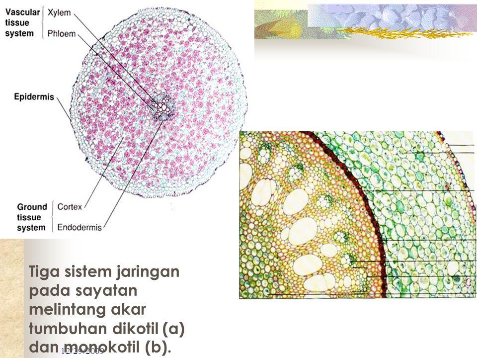 Tiga sistem jaringan pada sayatan melintang akar tumbuhan dikotil (a) dan monokotil (b).