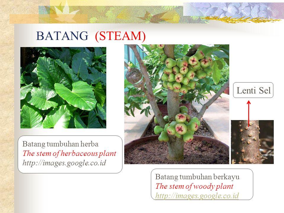 BATANG (STEAM) Lenti Sel Batang tumbuhan herba