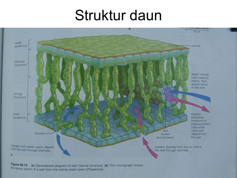 Struktur daun