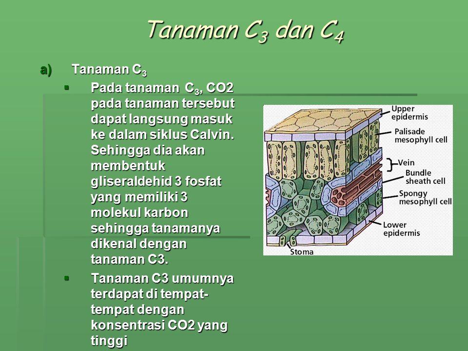 Tanaman C3 dan C4 Tanaman C3