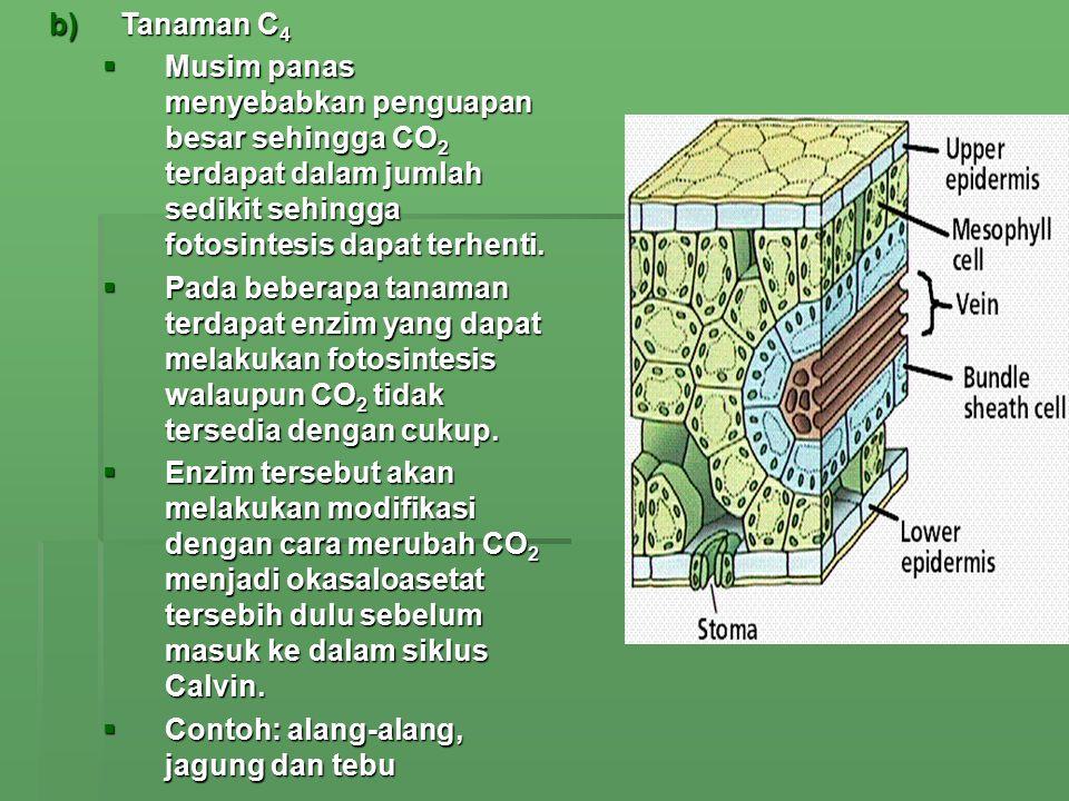 Tanaman C4 Musim panas menyebabkan penguapan besar sehingga CO2 terdapat dalam jumlah sedikit sehingga fotosintesis dapat terhenti.