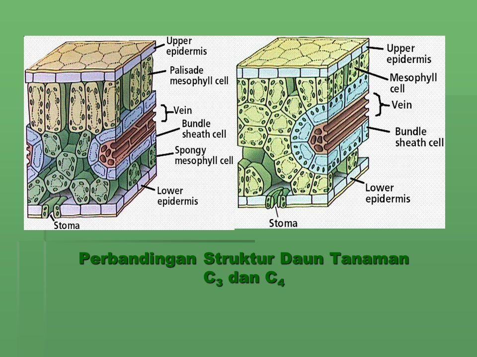 Perbandingan Struktur Daun Tanaman C3 dan C4