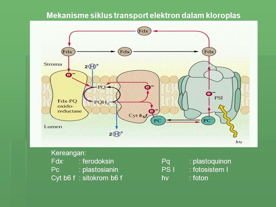 Mekanisme siklus transport elektron dalam kloroplas