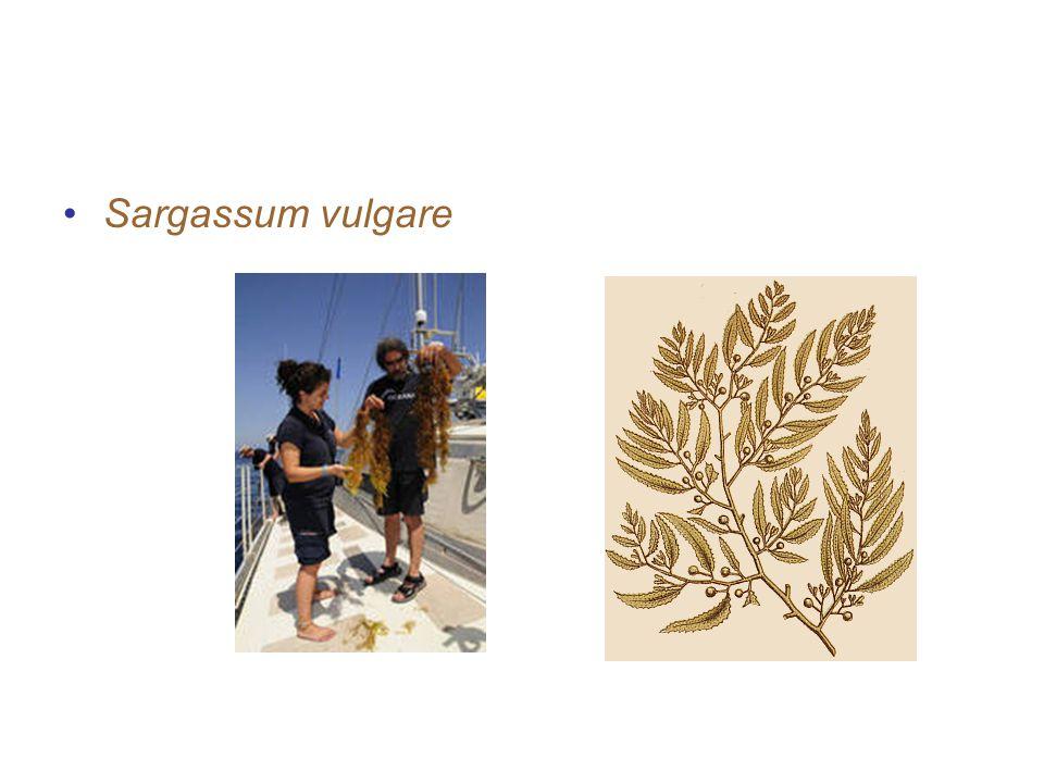 contoh-contoh alga coklat