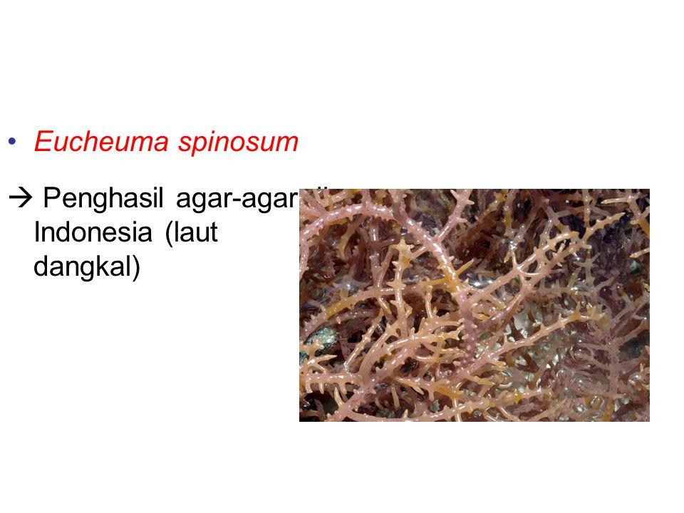 Contoh-contoh alga merah