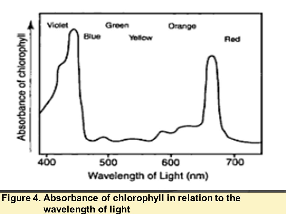 Figure 4. Absorbance of chlorophyll in relation to the wavelength of light
