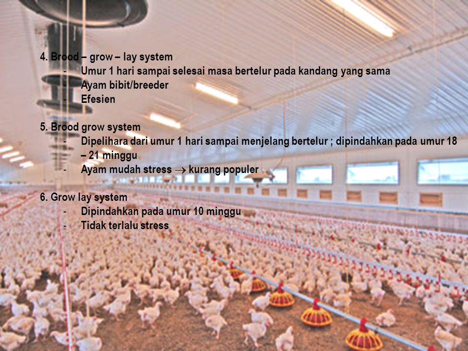 4. Brood – grow – lay system
