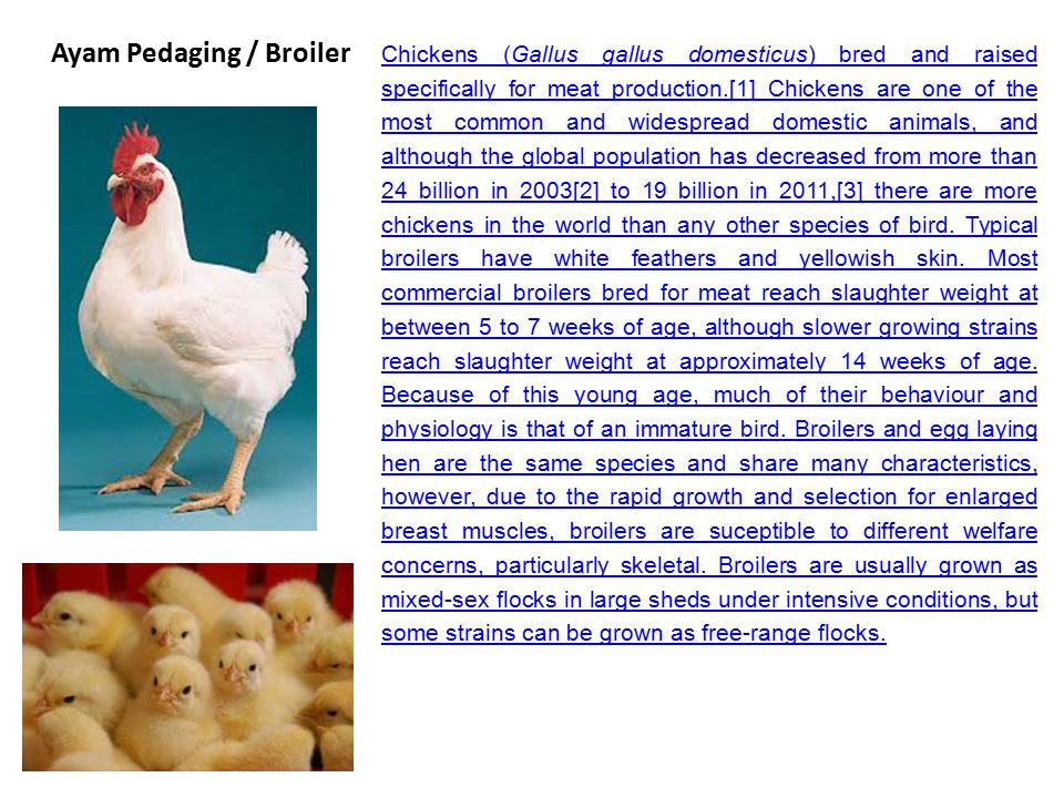 Ayam Pedaging / Broiler
