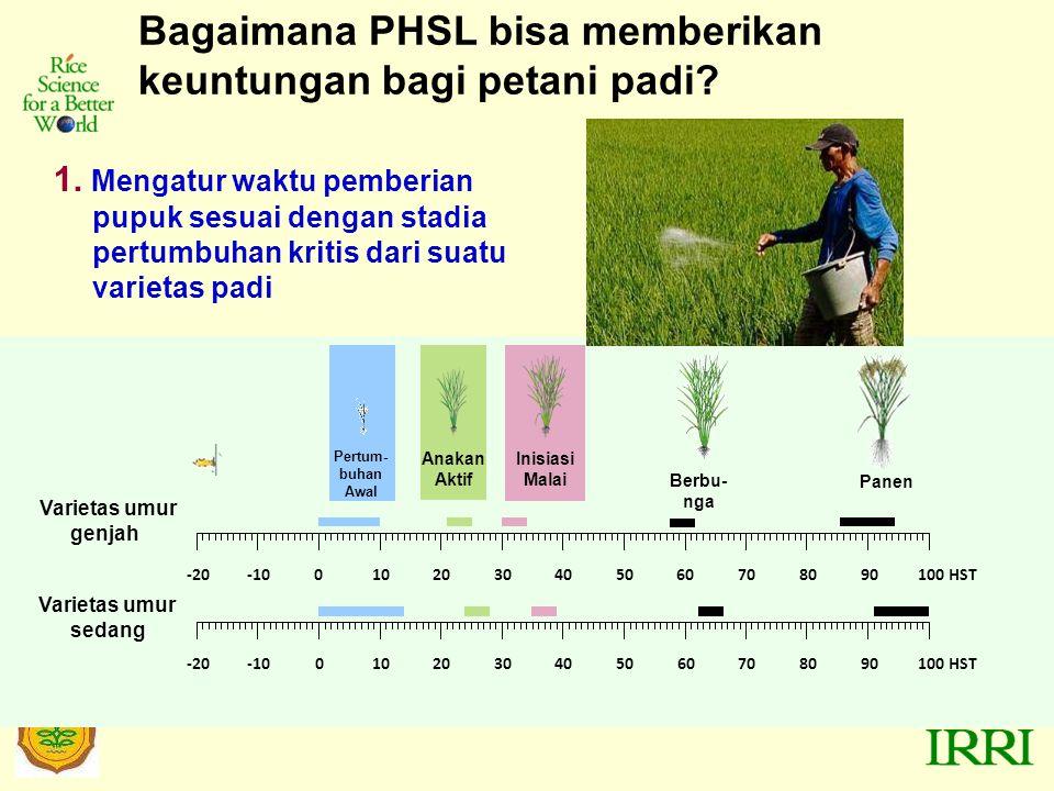 Bagaimana PHSL bisa memberikan keuntungan bagi petani padi