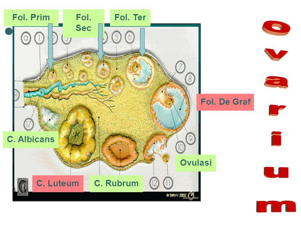 Ovarium Fol. Prim Fol. Sec Fol. Ter Fol. De Graf C. Albicans Ovulasi