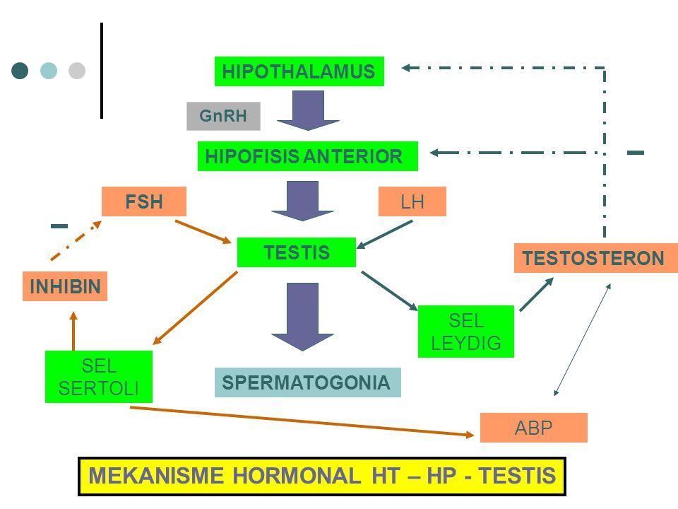 MEKANISME HORMONAL HT – HP - TESTIS