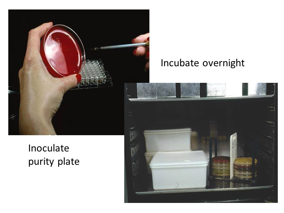 Incubate overnight Inoculate purity plate