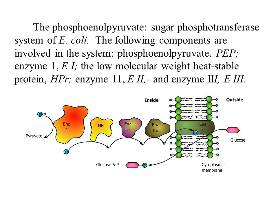 The phosphoenolpyruvate: sugar phosphotransferase system of E. coli
