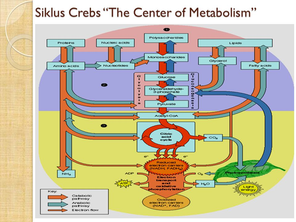 Siklus Crebs The Center of Metabolism