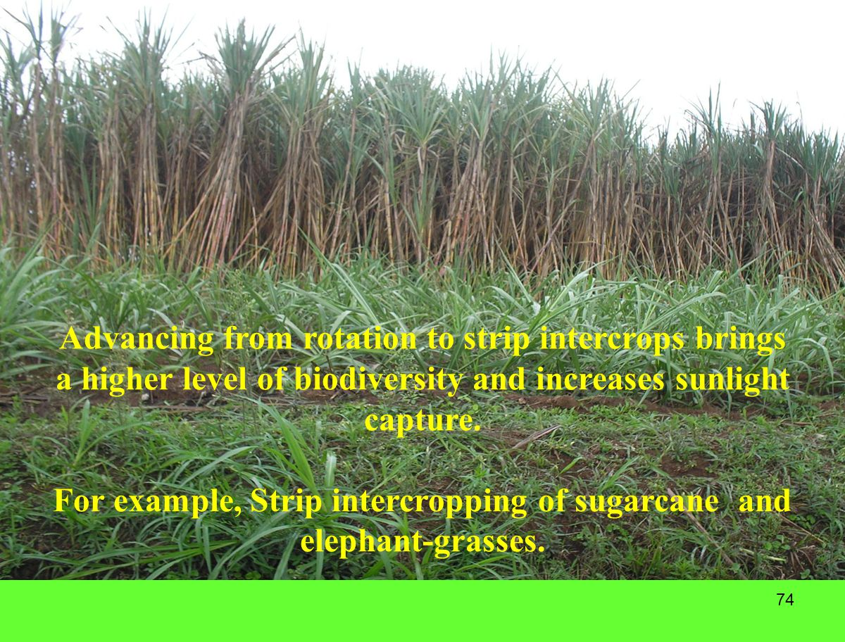 For example, Strip intercropping of sugarcane and elephant-grasses.