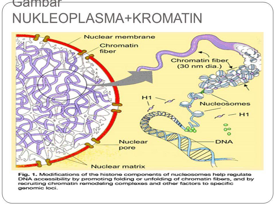 Gambar NUKLEOPLASMA+KROMATIN