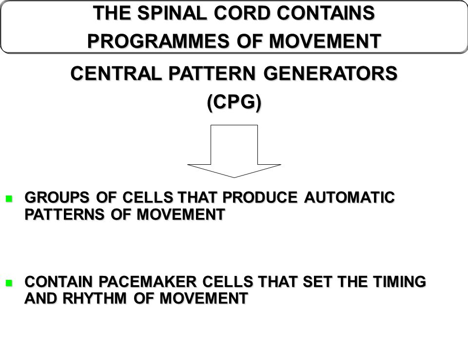 THE SPINAL CORD CONTAINS PROGRAMMES OF MOVEMENT