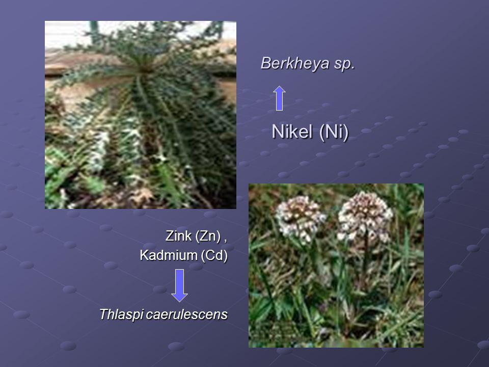 Berkheya sp. Nikel (Ni) Zink (Zn) , Kadmium (Cd) Thlaspi caerulescens