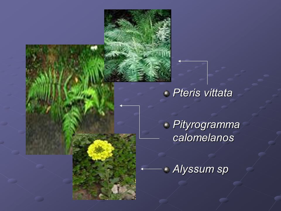 Pteris vittata Pityrogramma calomelanos Alyssum sp