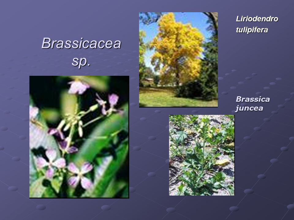 Liriodendro tulipifera Brassicacea sp. Brassica juncea