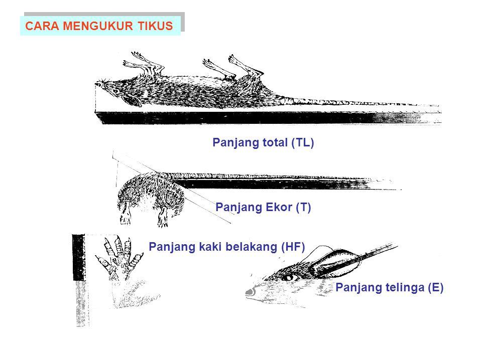 Panjang kaki belakang (HF)