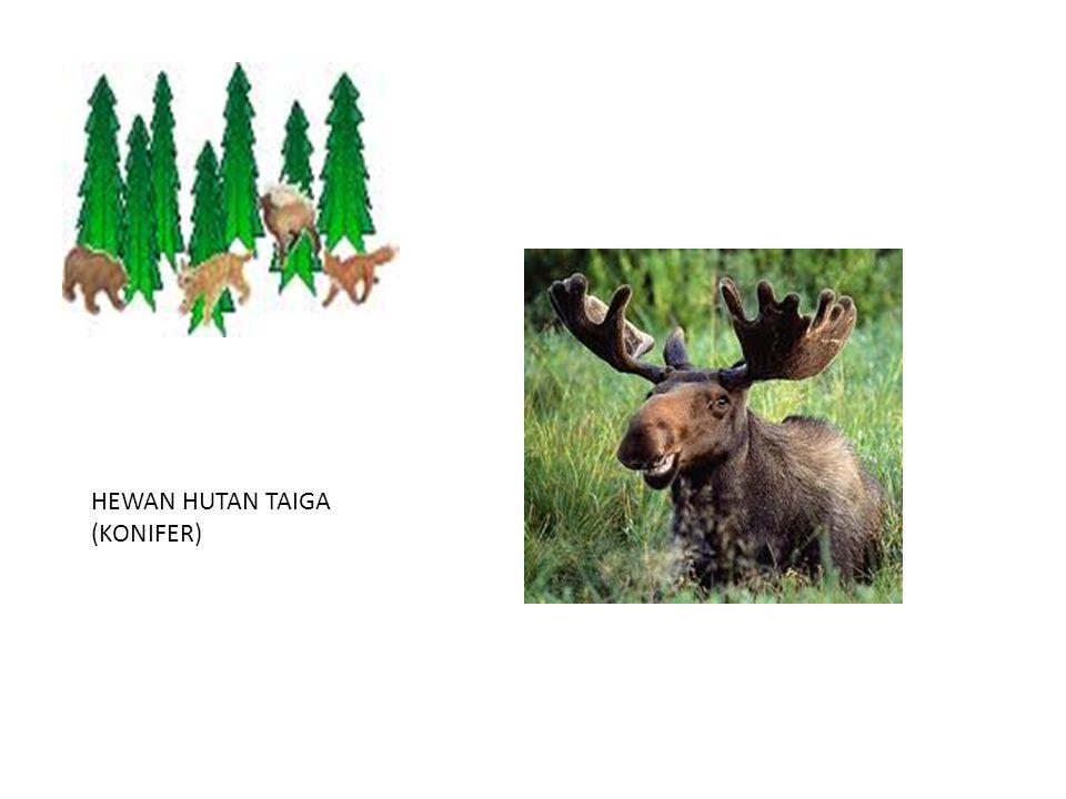 HEWAN HUTAN TAIGA (KONIFER)