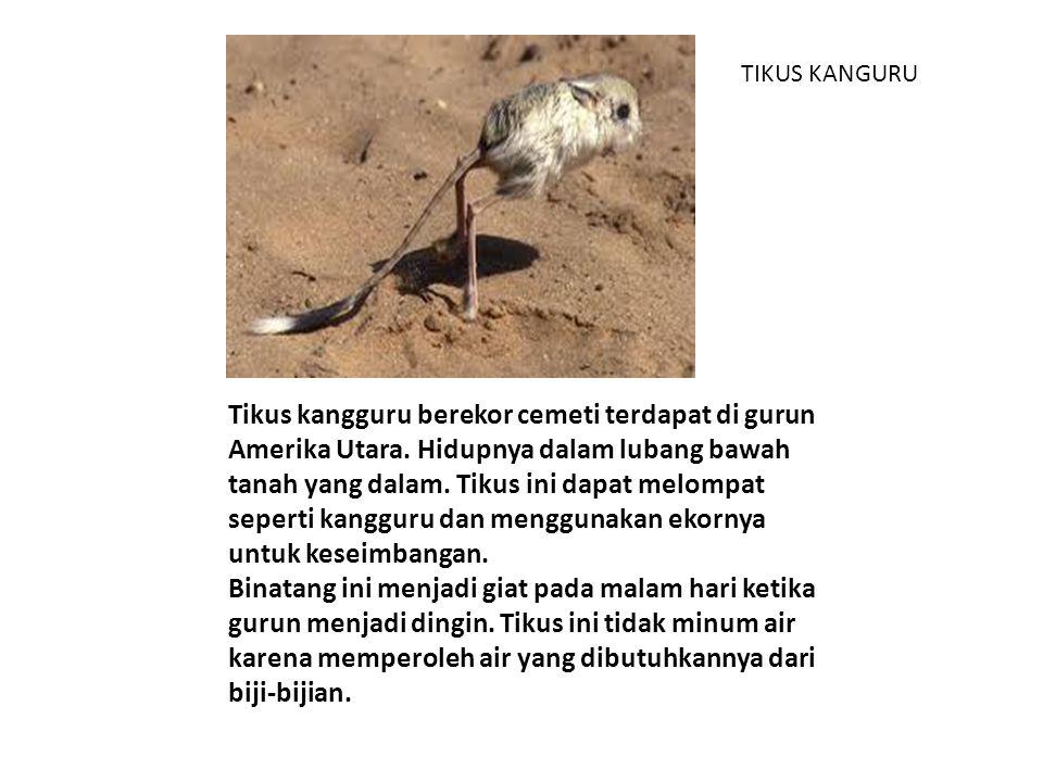 TIKUS KANGURU