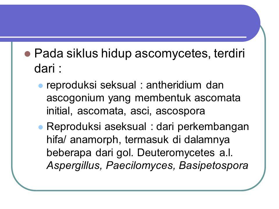 Pada siklus hidup ascomycetes, terdiri dari :