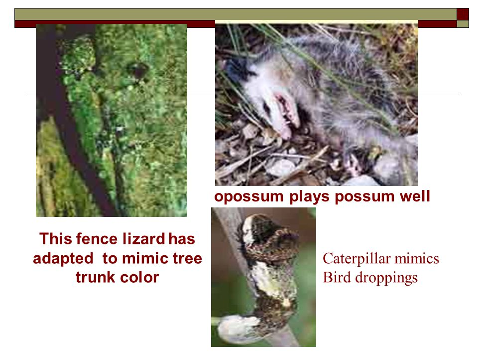 opossum plays possum well