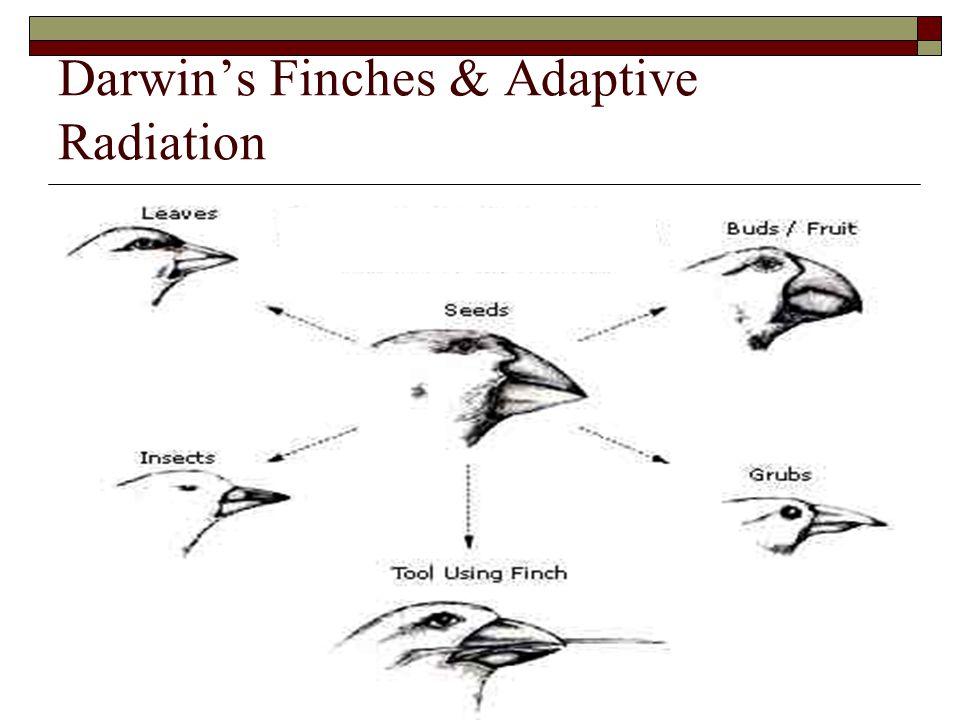 Darwin's Finches & Adaptive Radiation