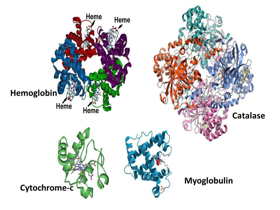 Hemoglobin Catalase Myoglobulin Cytochrome-c