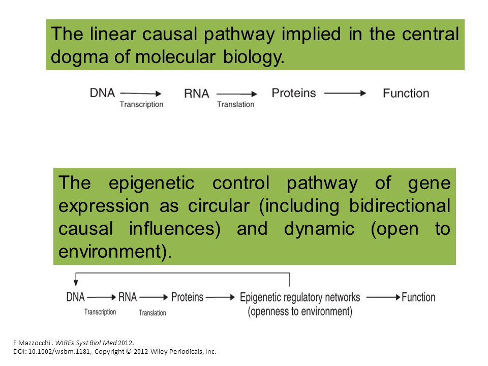 The linear causal pathway implied in the central dogma of molecular biology.
