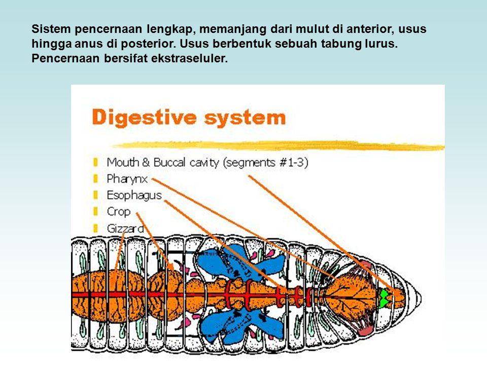 Sistem pencernaan lengkap, memanjang dari mulut di anterior, usus hingga anus di posterior.