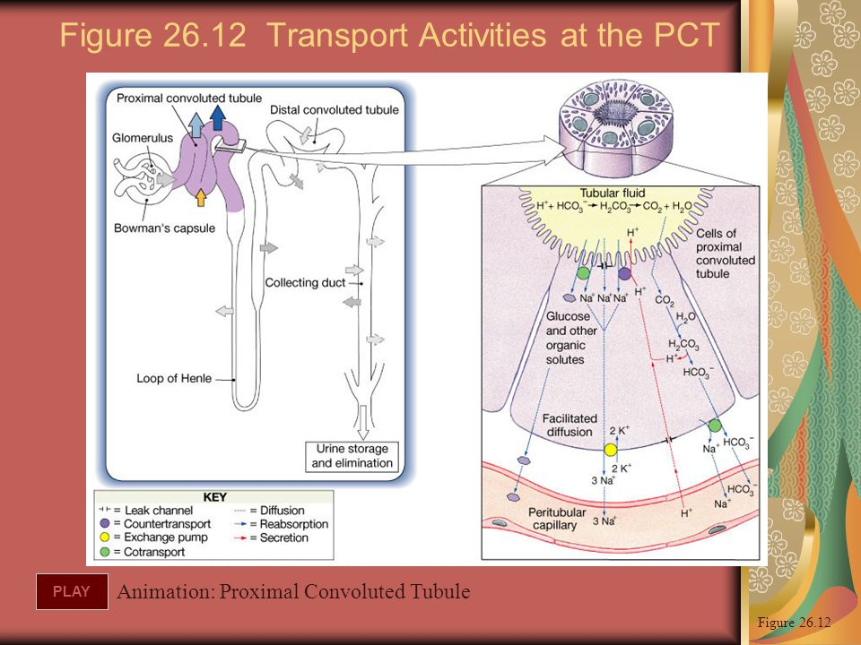 Figure 26.12 Transport Activities at the PCT