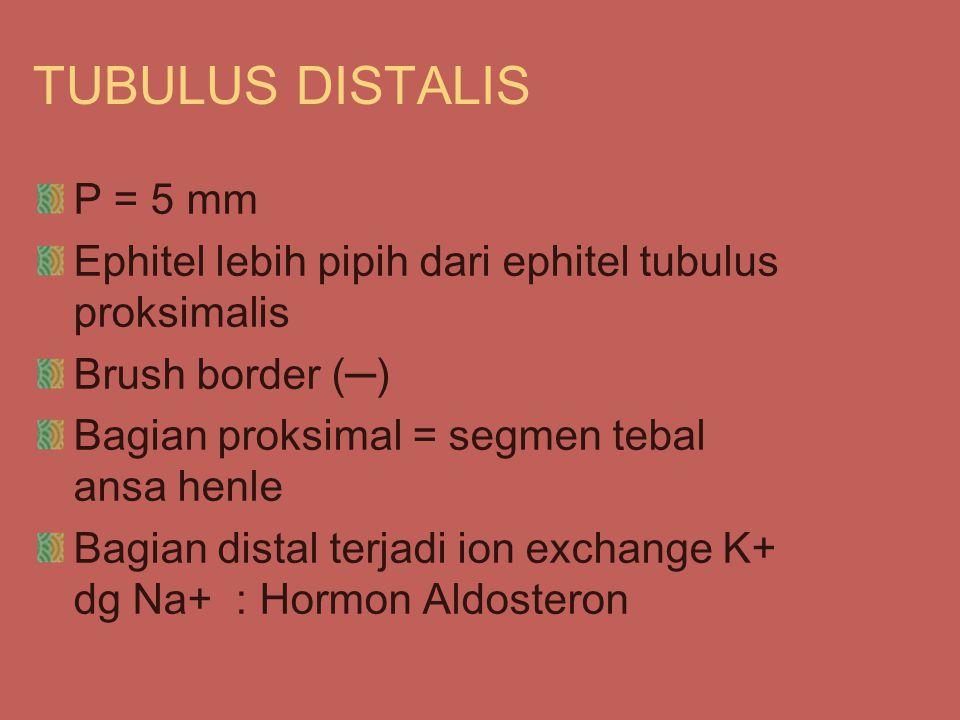 TUBULUS DISTALIS P = 5 mm. Ephitel lebih pipih dari ephitel tubulus proksimalis. Brush border (─)