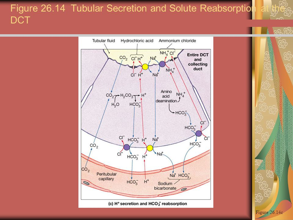 Figure 26.14 Tubular Secretion and Solute Reabsorption at the DCT