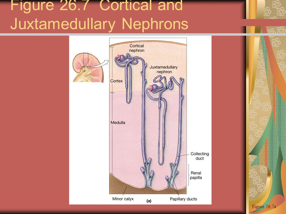Figure 26.7 Cortical and Juxtamedullary Nephrons