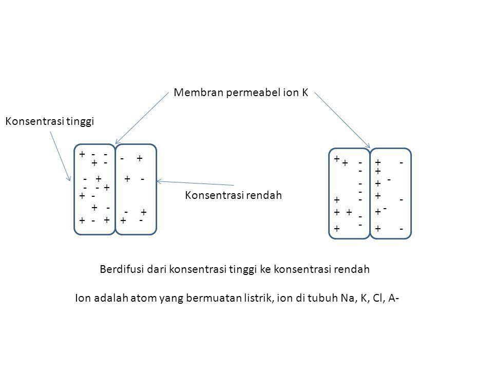 Membran permeabel ion K