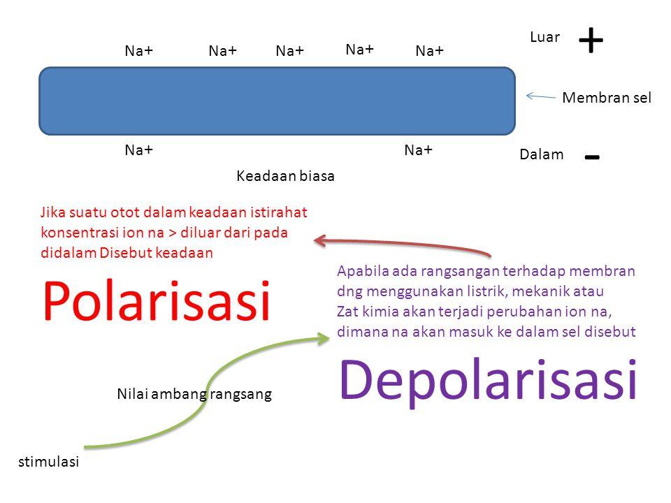 - Depolarisasi + Luar Na+ Na+ Na+ Na+ Na+ Membran sel Na+ Na+ Dalam