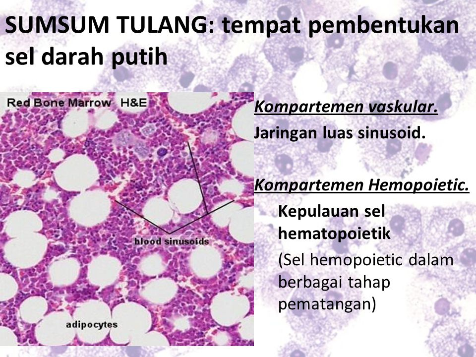 SUMSUM TULANG: tempat pembentukan sel darah putih