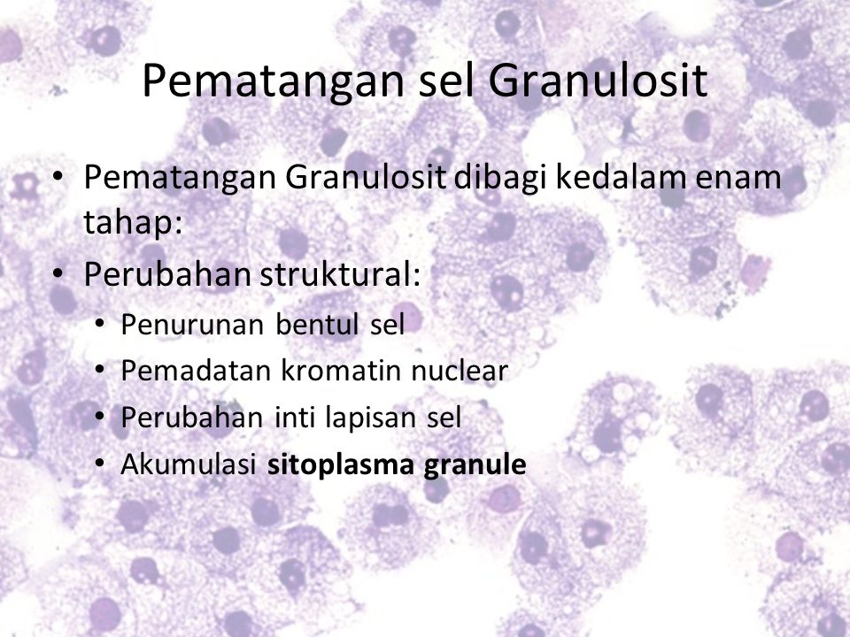 Pematangan sel Granulosit