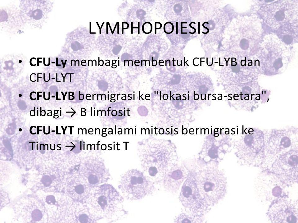 LYMPHOPOIESIS CFU-Ly membagi membentuk CFU-LYB dan CFU-LYT