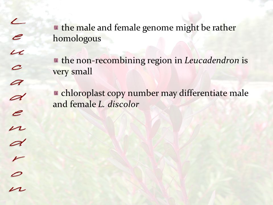 Leucadendron the male and female genome might be rather homologous