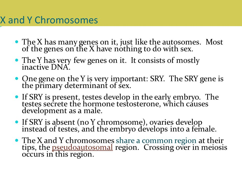 X and Y Chromosomes The X has many genes on it, just like the autosomes. Most of the genes on the X have nothing to do with sex.