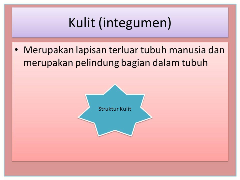 Kulit (integumen) Merupakan lapisan terluar tubuh manusia dan merupakan pelindung bagian dalam tubuh.
