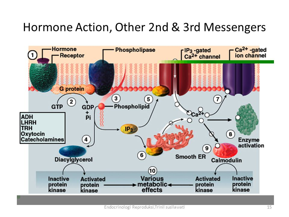 Hormone Action, Other 2nd & 3rd Messengers