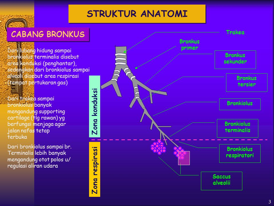 Bronkiolus terminalis Bronkiolus respiratori
