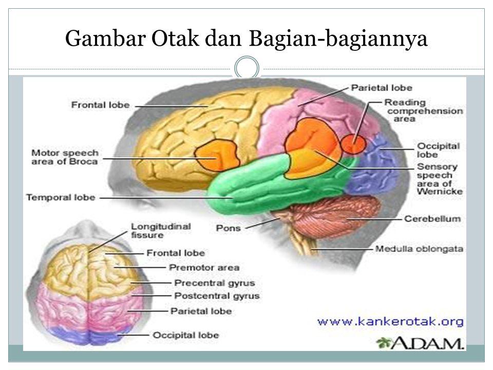 Gambar Otak dan Bagian-bagiannya