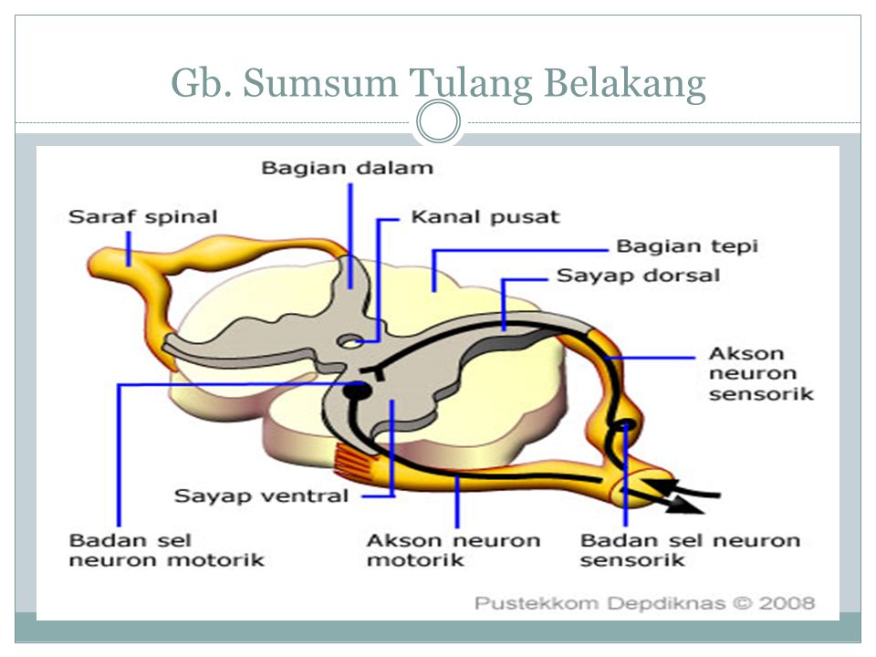 Gb. Sumsum Tulang Belakang